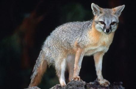 Flagstaff AZ: Fuchs Tests positiv auf Tollwut getestet